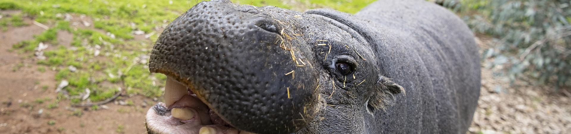 Hanna Shirley, Project Wildlife, Hippo.